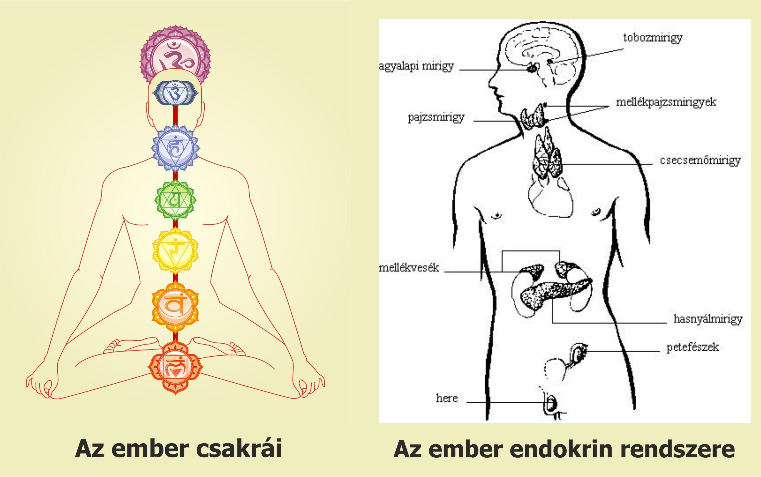 Erfreut Endokrin Bilder - Anatomie Und Physiologie Knochen Bilder ...
